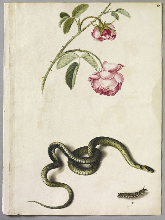 Alexander Marshal Unnanmed (cabbage rose): the English snake: Unnamed (Drinker moth caterpillar larva) c.1650–82