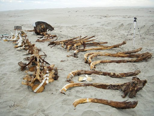 Bones from the whale skeleton found by Marco Barrera Bassols and Gabriel Orozco ready for transportation to Mexico City whale bones laid out on the sand