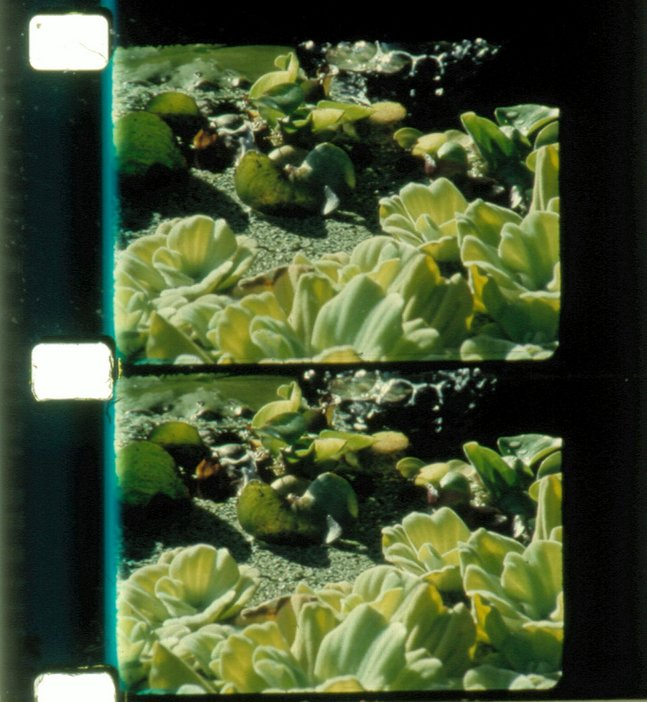 Rose Lowder Bouquets 11-20 2005–10, film still showing negative of two identical photos of green foliage