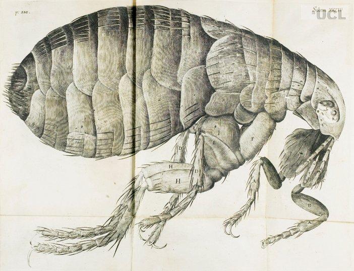 A flea from Robert Hookes Micrographia 1665