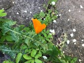 an orange poppy