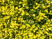 yellow green leaves