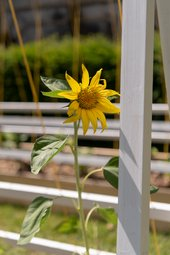 Photograph of a sunflower growing at A Common Ground