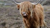 Highland cow with a fringe