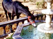 image of a black horse drinking water from a fountain