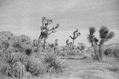 Photo of Joshua Tree desert