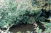 Part of the Hogsmill river where Millais is thought to have painted Ophelia