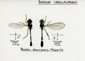 Illustration on paper of diptera