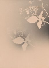 Joao Penalva, Cayratia Japonica from the series Small Weeds from Hiroshima, 1997