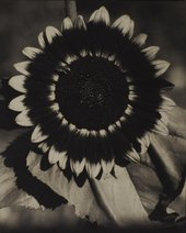 Edward Steichen, A Bee on a Sunflower c.1920 The Sir Elton John Photographic Collection  © The Estate of Edward Steichen/ARS, NY and DACS, London 2016