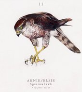 illustration of a hawk