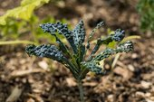 Picture of blue plant